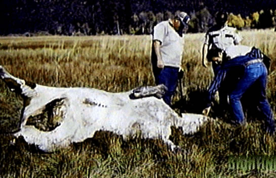 mutilated_cow5435.jpg