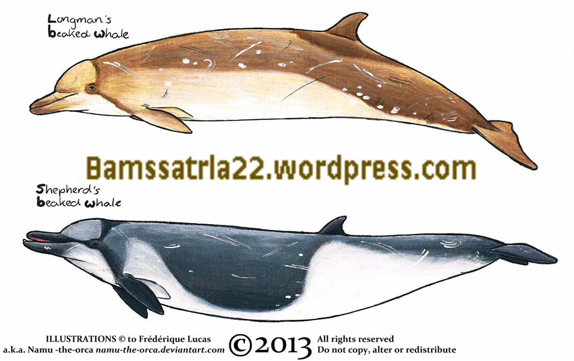 beaked_whale-001.jpg
