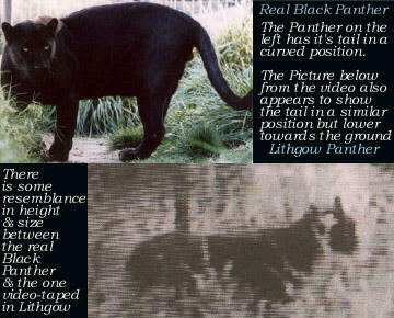 panther_comparison.jpg