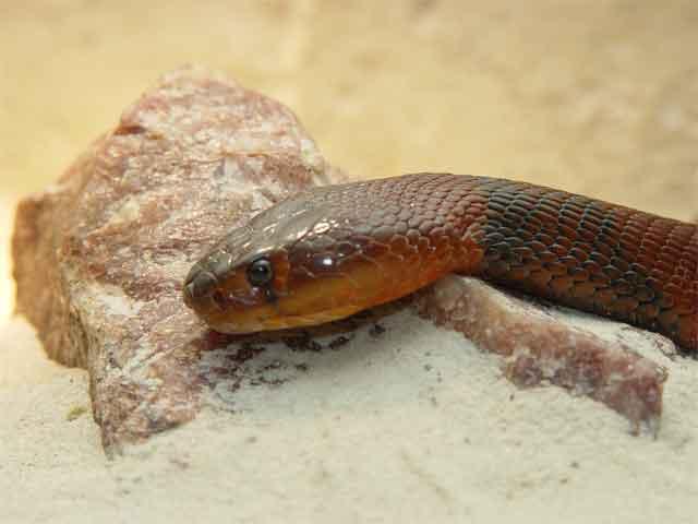red-spitting-cobra.jpg
